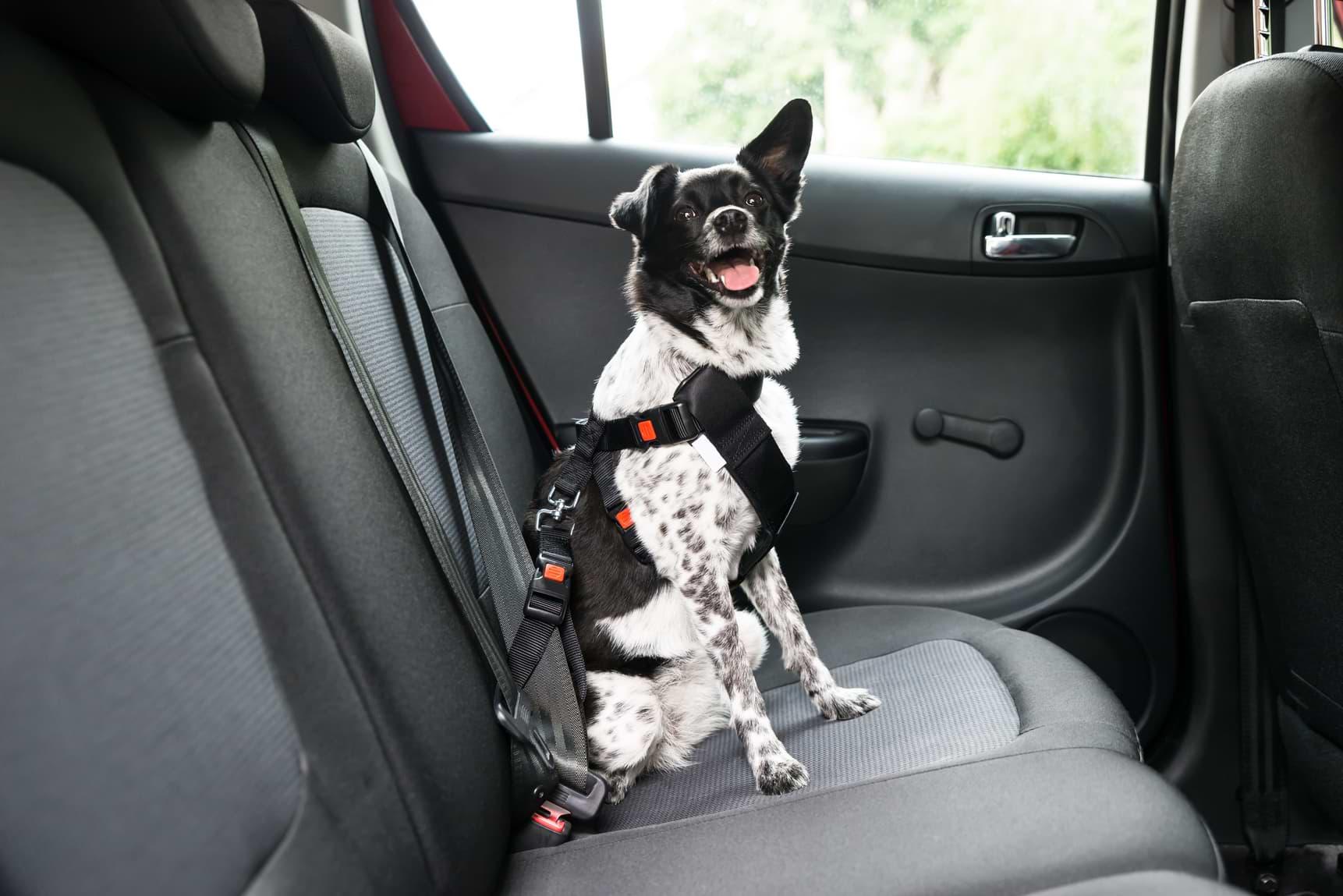 mascotas en auto